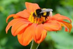 Stappla biet på blomma Arkivbild