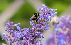 Stappla biet på blomma royaltyfri fotografi