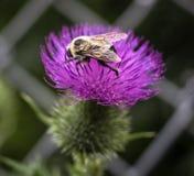 Stappla biet på blomman arkivbild