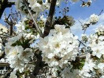 Stappla biet på blomman av det körsbärsröda trädet arkivfoto
