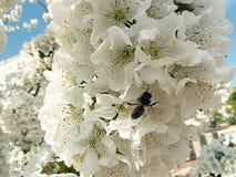 Stappla biet på blomman av det körsbärsröda trädet arkivbild