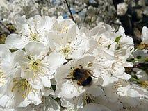 Stappla biet på blommor för det körsbärsröda trädet arkivbild