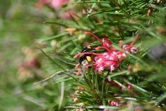 Stappla biet på den Grevillea blomman Royaltyfria Foton