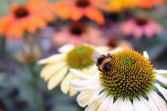 Stappla biet på Echinaceablomman Royaltyfria Bilder