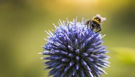 Stappla biet på Echinops royaltyfri fotografi