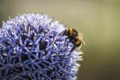 Stappla biet på Echinops arkivfoto