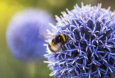 Stappla biet på Echinops fotografering för bildbyråer