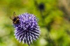 Stappla biet på en blå tistel arkivfoto