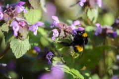 Stappla biet på en Lamiumpurpureum som äter nektar arkivfoto