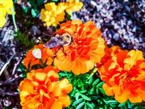 Stappla biet på en orange blomma Arkivbild