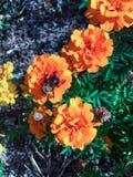 Stappla biet på en orange blomma Arkivbilder