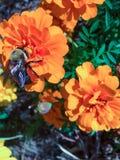 Stappla biet på en orange blomma Arkivfoto