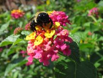 Stappla biet på Lantanablomman royaltyfri bild