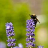 Stappla biet på lavendelblommor arkivfoton