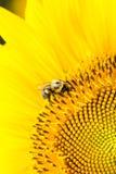 Stappla biet på solrosen Arkivfoton