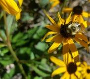 Stappla biet på Svart-Syna Susan med lövverk Fotografering för Bildbyråer