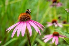 Stappla biet på vibrerande rosa Daisy Flower royaltyfria foton