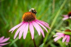 Stappla biet på vibrerande rosa Daisy Flower arkivbilder