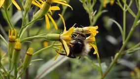 Stappla biet samlar nektar arkivfilmer