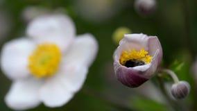 Stappla biet samlar nektar från en blomma stock video