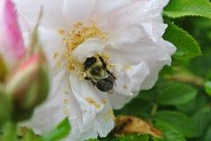 Stappla biet som begravas i blomma royaltyfria foton
