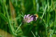Stappla biet som matar från den rosa växt av släktet Trifoliumblomman royaltyfri foto