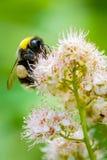 Stappla biet som matar på rosa blommor Arkivfoton