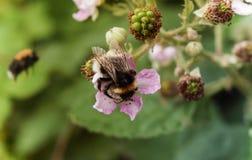 Stappla biet som samlar nektar från ett hallon royaltyfria bilder