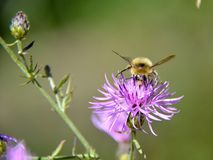 Stappla biet som samlar pollen Royaltyfri Bild