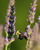 Stappla bin i lavendeln arkivfoto