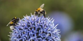 Stappla bin på Echinops royaltyfri fotografi