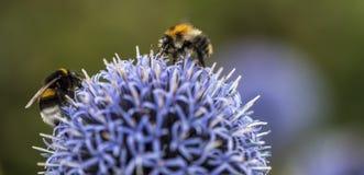 Stappla bin på Echinops royaltyfria bilder