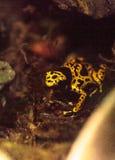 Stappla Dendrobates för grodan för bigiftpilen leucomelas arkivfoto