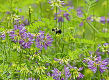 Stappla pollenbiet i flykten arkivbild
