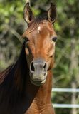 Star. Arabian Mare Head Shot Stock Photo