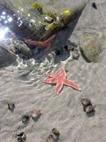 Star. Small starfish in shallow water eastern canada, north atlantic stock photography