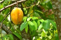 Star apple( Carambola) fruit Royalty Free Stock Photo