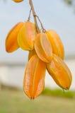 Star apple fruit. Fresh yellow star apple fruit in thailand Royalty Free Stock Photo