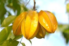 Star apple fruit. Fresh yellow star apple fruit in thailand Royalty Free Stock Photos