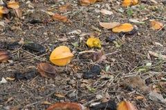 Star apple fruit on the ground. Star apple fruit on the ground floor Stock Photos