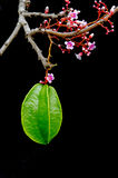 Star apple fruit hanging with flower over black background Stock Image
