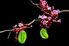 Star apple fruit hanging with flower over black background Stock Images