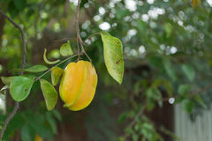 Star apple fruit on the tree. Close up of Star apple fruit on the tree Royalty Free Stock Images