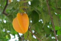 Star apple fruit on the tree. Star apple fruit on the tree in the garden Stock Image