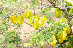 Star apple fruit on the tree. Royalty Free Stock Photography