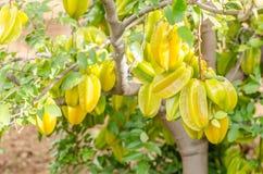 Star apple fruit on the tree. Stock Image