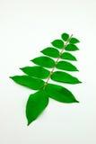 Star apple leaf Royalty Free Stock Image