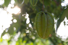 Star apple royalty free stock images