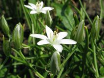 Star of Bethlehem floret. And green narrow leaves in the spring garden on the flowerbed stock photo