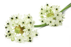 Star of Bethlehem flower Stock Photo